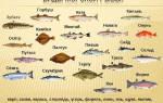 Морская рыба белое мясо без костей