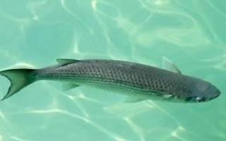 Что за рыба пеленгас