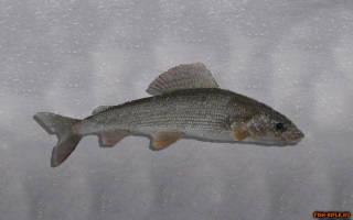 Какая рыба водится в ингоде