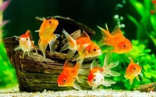 Существуют аквариумные рыбки