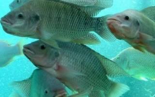 Тилапия описание рыбы фото