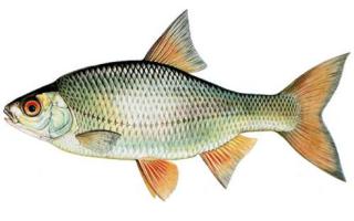 Тарань рыба морская или речная рыба