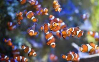 образ жизни и среда обитания рыбы-клоун