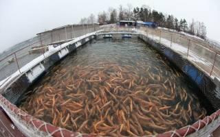 Выращивание форели в прудах
