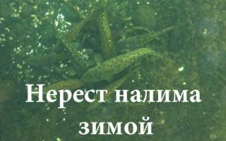 Когда начинает клевать налим в московской области