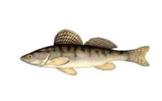 Рыба берш как готовить