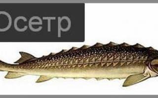 Как приготовить рыбу осетр