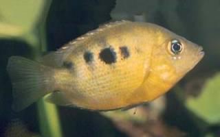 Фото аквариумных рыб с названиями цихлиды