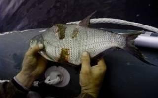 Болезни рыб опасные для человека перечень