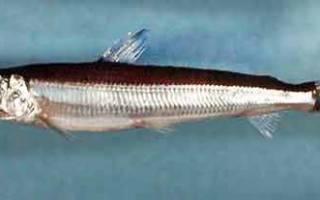 Рыба аргентина костлявая
