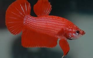 Рыба мужского пола
