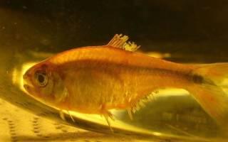 Восстанавливаются ли плавники у аквариумных рыб