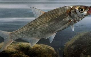 Рыба рыбица фото