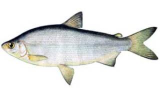 Разведение рыбы чир