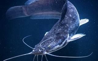 Можно ли кормить африканского сома рыбными отходами