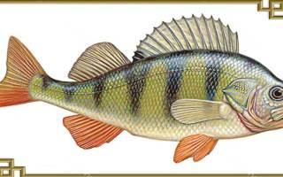 Окунь речная рыба