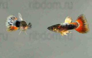 Рыба гуппи сколько стоит