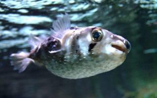 Рыба еж информация для детей