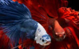 Рыба петушок синий самец