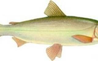 Рыба омуль какая икра