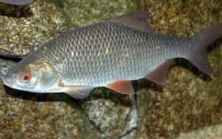 Рыба пелеть фото и описание