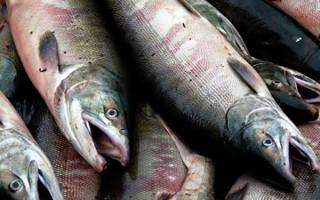 Кета рыба отличие от горбуши