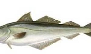 Как называется рыба которая похожа на минтай