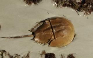 Самая древняя рыба из ныне существующих фото