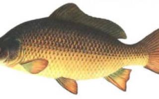 Рыба карп — описание