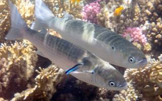 Как выглядит кефаль рыба фото