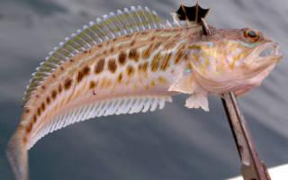 Ценная рыба в черном море