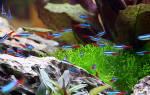 Можно ли креветок содержать с другими рыбами