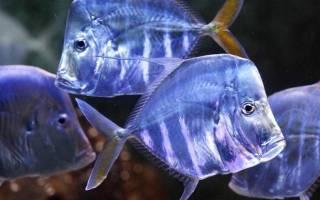 Где водится рыба соверен