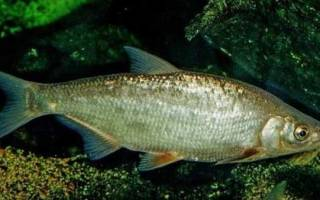 Рыба рыбец википедия