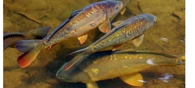 Зеркальная рыба как называется