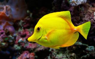 Сине желтая рыба