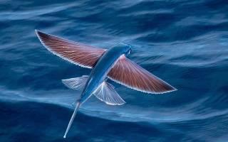 Какие бывают летающие рыбы