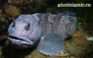 Рыба зубатка