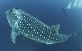 Самая большая рыба планеты фото