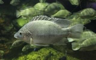 Какая рыба похожа на тилапию