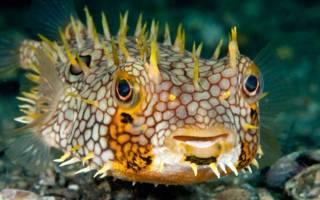 Рыба с иголками название