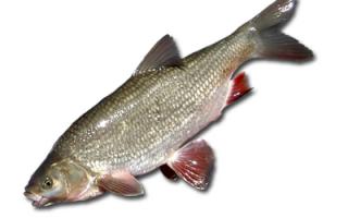 Какая рыба похожа на язя