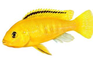 Еллоу рыба содержание фото