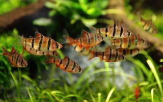 Какие рыбы живут с барбусами в аквариуме