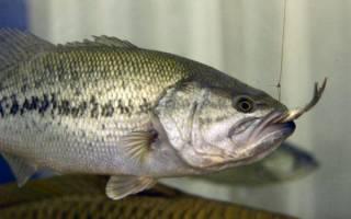 Басс рыба где водится в россии