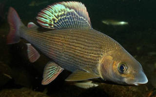 Хариус рыба костлявая