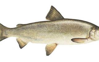 Фотография омуля рыба