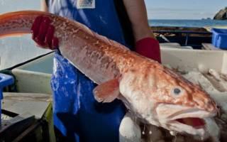 Рыба креветочная жирная или нет