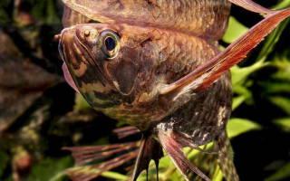 Рыба бабочка аквариумная сколько стоит