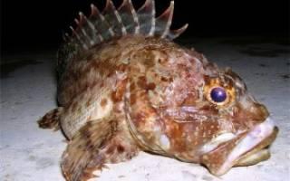 Морская рыба скорпена